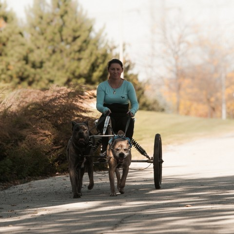 "CARTING <a href=""http://fidecorecanecorso.com/portfolio/carting/"">GALLERY</a>"