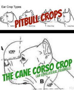 PUPPIES – FIDECORE CANE CORSO Main Page